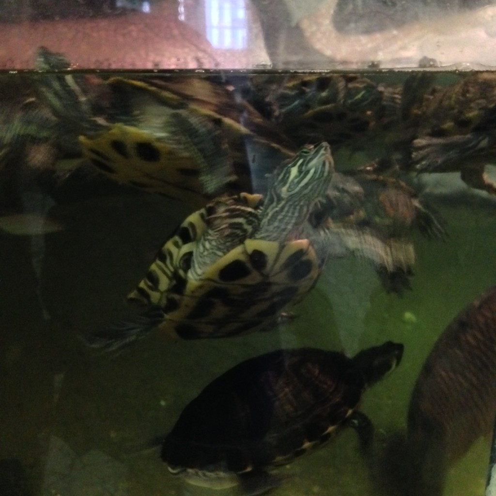 Turtles at St. Louis City Museum